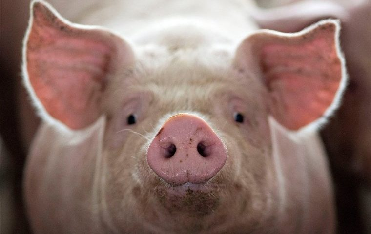 イスラム教が豚を食べない本当の理由   宗教.jp