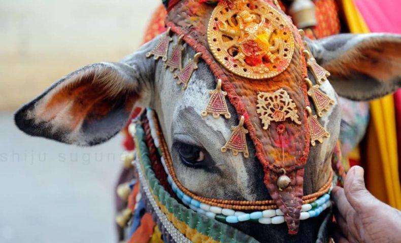 ヒンドゥー教 牛